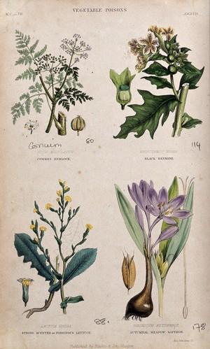 view Four poisonous plants: hemlock (Conium maculatum), henbane (Hyoscyamus niger), opium lettuce (Lactuca virosa) and autumn crocus (Colchicum autumnale). Coloured engraving by J. Johnstone.