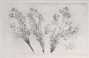 view Three grass flower-heads. Intaglio nature print, 19th century.
