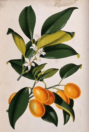 view A lemon plant (Citrus japonica): flowering and fruiting stems. Coloured zincograph, c. 1876, after W. Fitch.