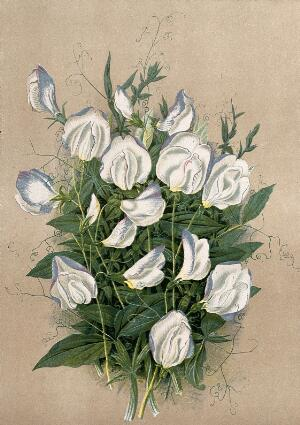 view A bunch of flowering sweet peas (Lathyrus odoratus var.). Chromolithograph, c. 1878, after H. Moon.