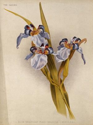 view A flowering blue flag iris (Marica caerulea) Chromolithograph, c. 1888, after H. Moon.