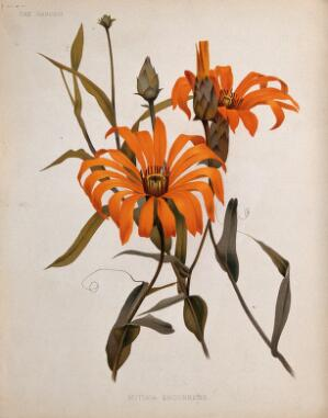 view A plant (Mutisia decurrens): flowering stems. Chromolithograph, c. 1882, after H. Moon.