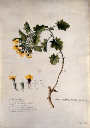 view A plant (Hyoscyamus aureus): flowering stem and floral segments. Watercolour by G. D. Ehret, 1736.