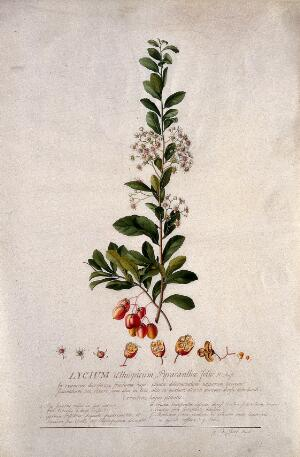 view A plant (Lycium aethiopicum): flowering stem and floral segments. Watercolour by G. D. Ehret, 1736.