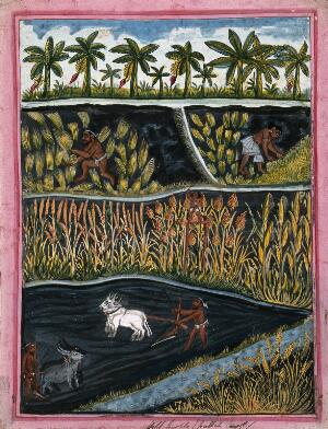 view Indian agriculture and crops. Gouache drawing.