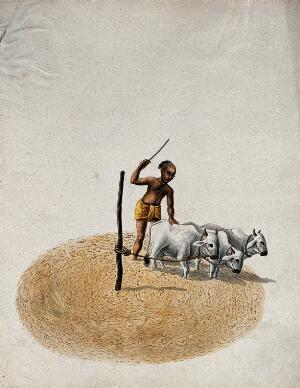 view A man cultivating his land, using three cows. Gouache painting by an Indian artist.