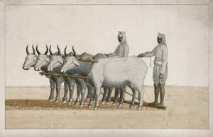 view Two farmers using oxen to plough the land. Watercolour painting by an Indian artist.