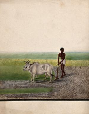 view A man ploughing land with oxen. Watercolour by an Indian artist.