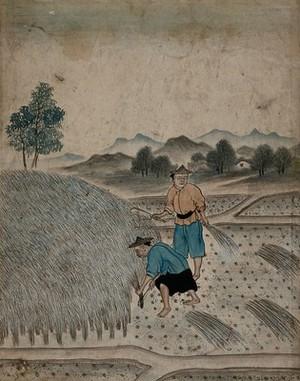 view Chinese men harvesting. Gouache.
