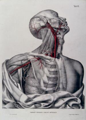 view Head, neck, shoulder and chest of a dissected male écorché, with arteries and blood vessels indicated in red. Coloured lithograph by J. Roux, 1822.