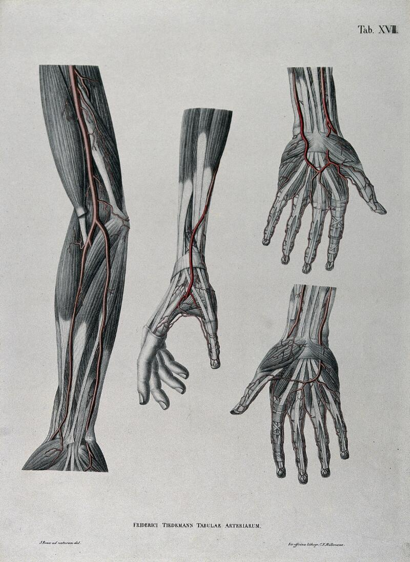 Dissections Of The Arm And Hand Four Figures With The Arteries And