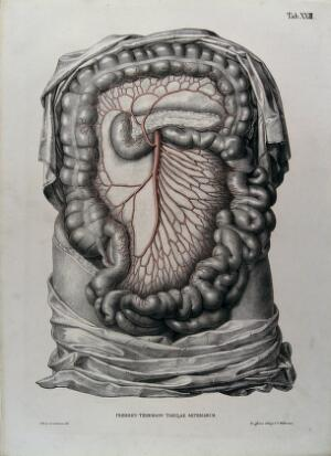 view Dissection of the abdomen, showing the intestines and mesentery (?), with the arteries and blood vessels indicated in red. Coloured lithograph by J. Roux, 1822.