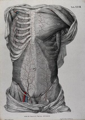 view Dissection of the male torso, showing the muscles, bones and lymph nodes, with the arteries, blood vessels and veins indicated in red and blue. Coloured lithograph by J. Roux, 1822.