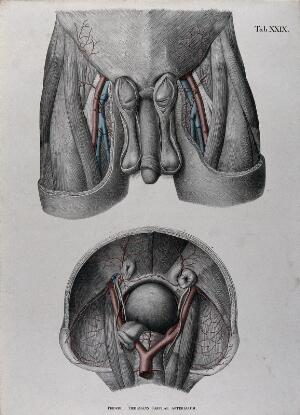 view Dissections of the male genitals, upper thighs and pelvic region: two figures, with the arteries, blood vessels and veins indicated in red and blue. Coloured lithograph by J. Roux, 1822.
