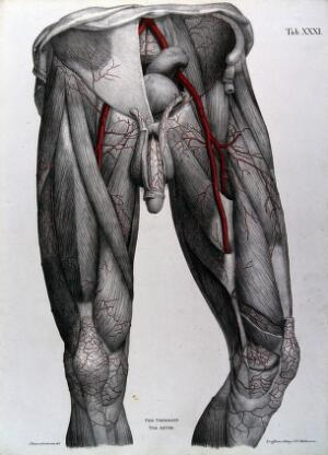 view Dissection of the male genitalia, lower abdomen and thighs, with the arteries and blood vessels indicated in red. Coloured lithograph by J. Roux, 1822.