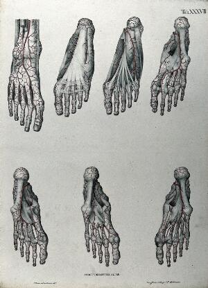 view Dissections of the foot: seven figures, with the arteries and blood vessels indicated in red. Coloured lithograph by J. Roux, 1822.