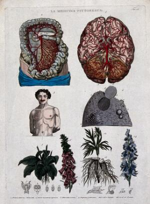 view Anatomy and botany: top left, artery of the brain; top right, superior section of the brain; centre left, head and torso of a naked man; centre right, part of the lung; bottom, digitalis. Coloured engraving, 1834-1837.