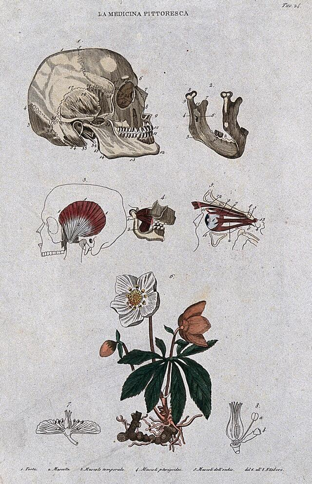Anatomy and botany; top, skull and its various parts; bottom, plant. Coloured engraving, 1834-1837.