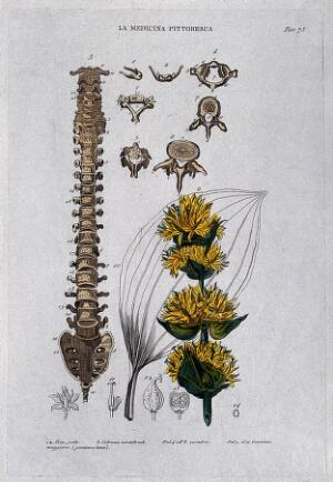 view Anatomy and botany; left, vertbral column; right, gentian. Coloured engraving, 1834-1837.