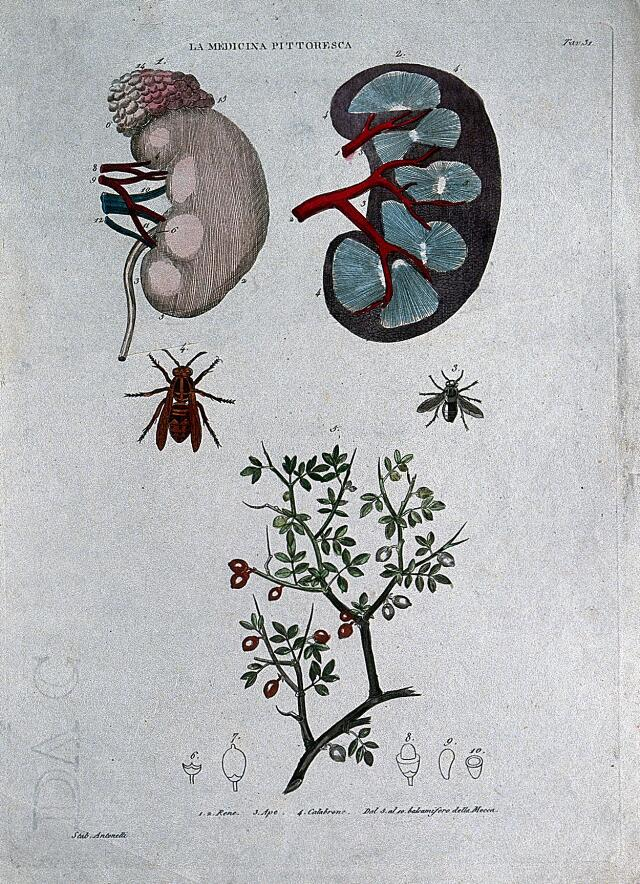 Anatomy and botany; top, kidneys; centre left, bee; centre right, fly; bottom, plant. Coloured engraving, 1834-1837.