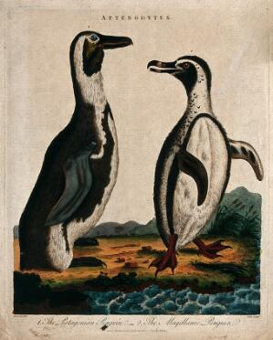 view Left, the Patagonian penguin; right, the magellanic penguin. Coloured etching by J. Pass after Edwards.