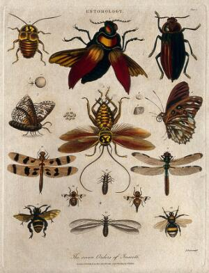 view Seven different types of insects including the bee, the butterfly and the dragonfly. Coloured etching by J. Pass, 22 September 1804.