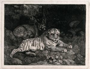 view A tiger and a sleeping leopard. Soft ground etching by G. Stubbs, 1788.