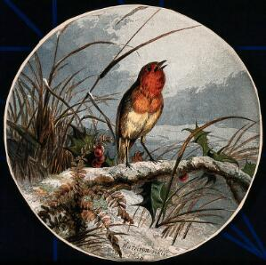 view A robin on a branch of holly. Colour lithograph after H. Weir, 1858.