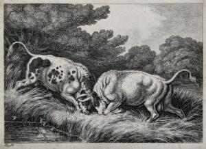 view Two bulls fighting by a pond; frogs in the foreground. Etching after Howitt, ca. 1850.
