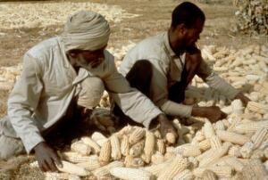 view Agriculture: harvesting maize