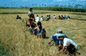 view Agriculture: harvesting rice