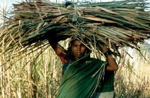 view Harvesting sugar cane