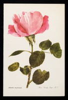 view If you have a patient who cannot smell a rose...the remedy may be Otrivine : rosa 'candy stripe' H.T.