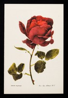 view If you have a patient who cannot smell a rose...the remedy may be Otrivine : rosa 'papa meillard' H.T.