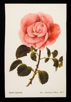 view If you have a patient who cannot smell a rose...the remedy may be Otrivine : rosa 'Elizabeth of Glamis' H.T.