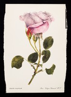 view If you have a patient who cannot smell a rose...the remedy may be Otrivine : rosa 'Cologne carnival' H.T.