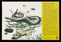 view Slow-worm (blind-worm or deaf-adder) anguis fragilis family: Anguidae : DF 118 powerful non-narcotic analgesic.