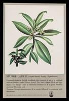 view Spurge laurel (daphne laureola. Family: Thymelaeaceae) : Myolgin tablets.